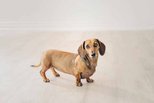 sausage dog photo taken by our Auckland dog and pet photographer